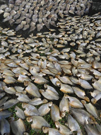 Bild Drying fish